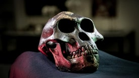 Human Teeth Likely Shrank Due to Tool Use