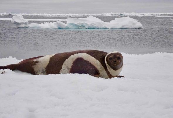生病的海豹