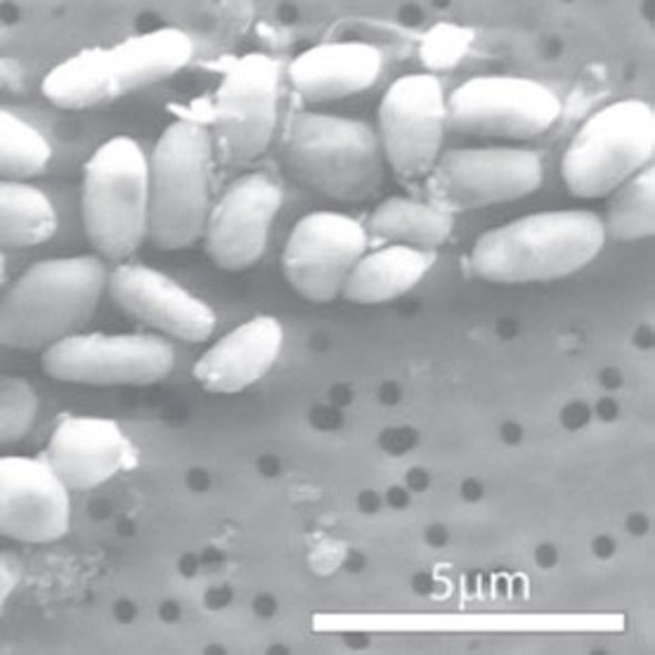 Notorious Arsenic-Tolerant Bacterium Needs Phosphorus After All