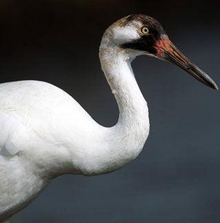 10 of America's Most Imperiled Birds [Slideshow]