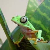 SURVIVAL EVEN FOR RESISTANT FROGS COULD BE FLEETING