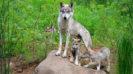 How the Wolves Change the Forest