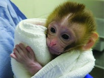 First Baby Monkey Born Using Sperm from Frozen Testicles