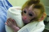 第一只使用冷冻睾丸精子出生的小猴子