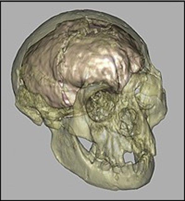 Brain Study Bolsters Case for Smart Bantam Human Species