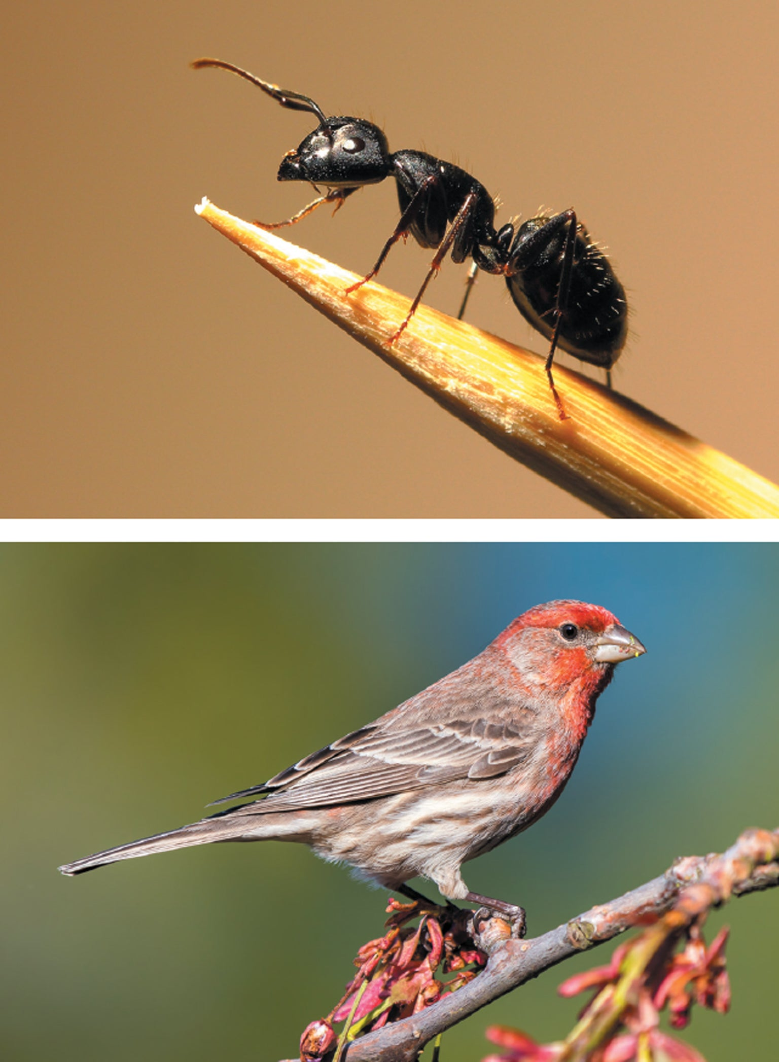 Garden ants and House finches