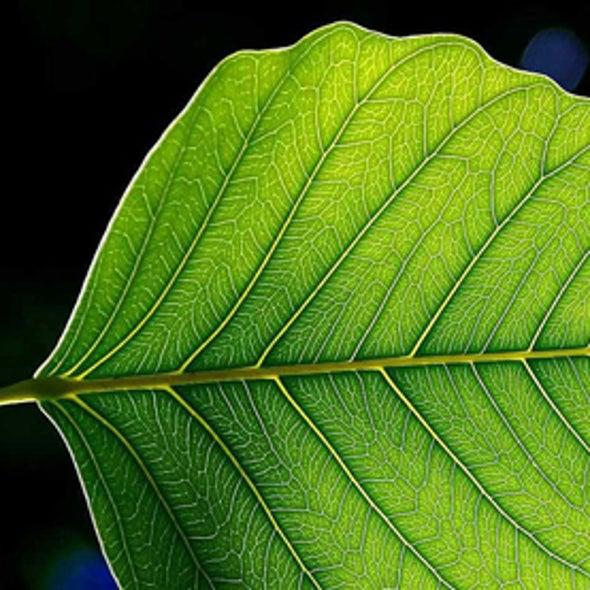 """Artificial Leaf"" Might Provide Easy, Mobile Energy"