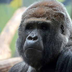 Outgoing Gorillas Live Longer Than Shy Ones