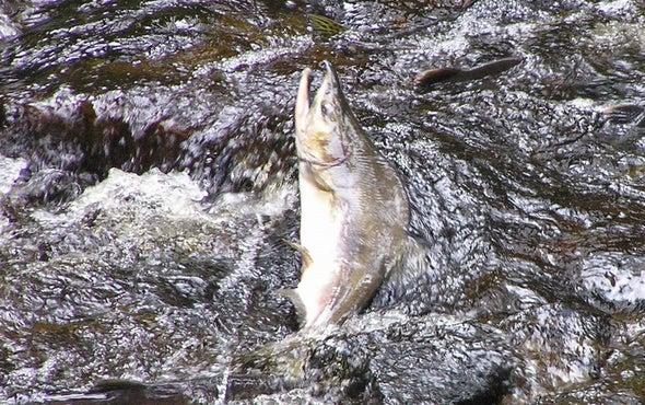 Salmon Sex Changes Entire Landscape