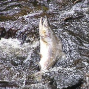 Salmon Sex Changes Entire Landscape