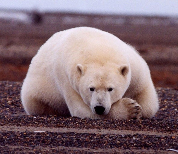 Polar Bears Diverged from Brown Bears Fairly Recently