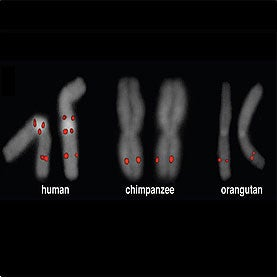 A Missing Genetic Link in Human Evolution