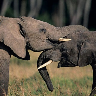 Are Elephant Populations Stable These Days?