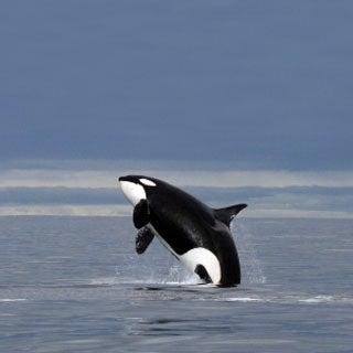 Poisoned Killer Whales? Blame Salmon