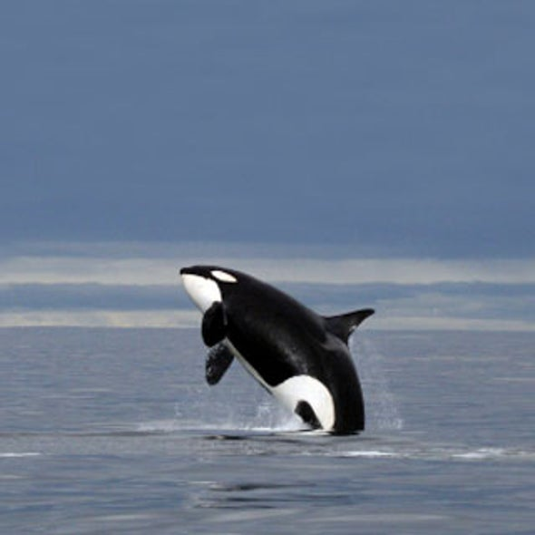 Poisoned Killer Whales? Blame Salmon