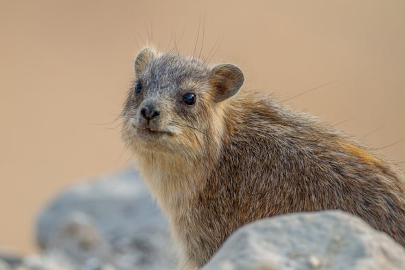 These Small Mammals Snort to a Different Tune