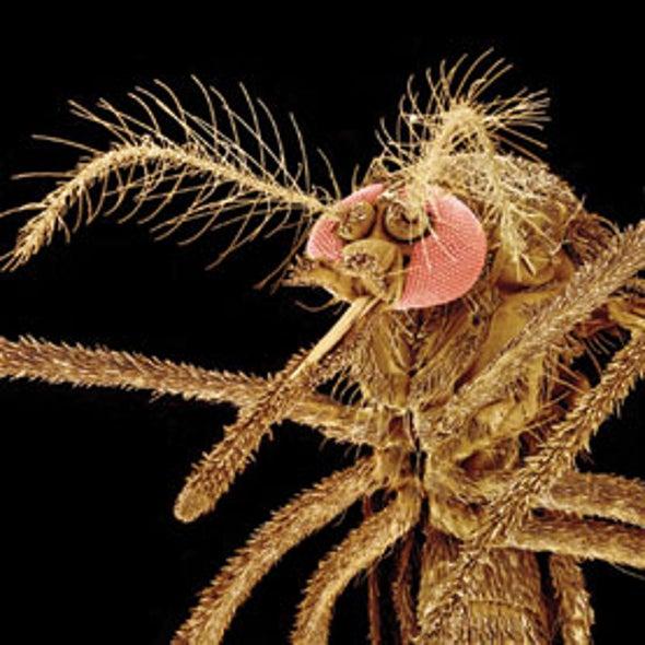 Painful Mosquito-Borne Viral Disease Reaches Western Hemisphere