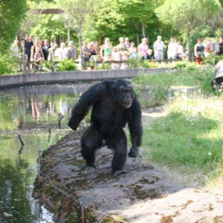 Planning of the Apes: Zoo Chimp Plots Rock Attacks on Visitors
