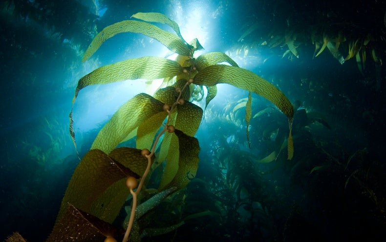 Could Our Energy Come from Giant Seaweed Farms in the Ocean?