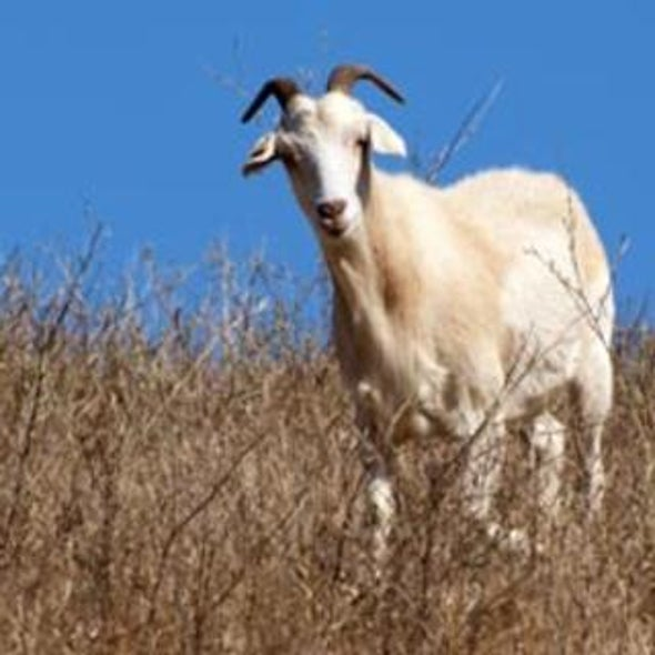No Kidding: Getting Goats to Graze on Tinder Puts a Damper on Fires