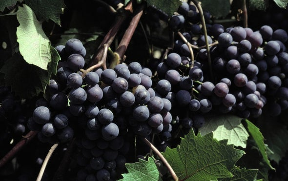 Wildfires Spike Wine with Smoky Notes