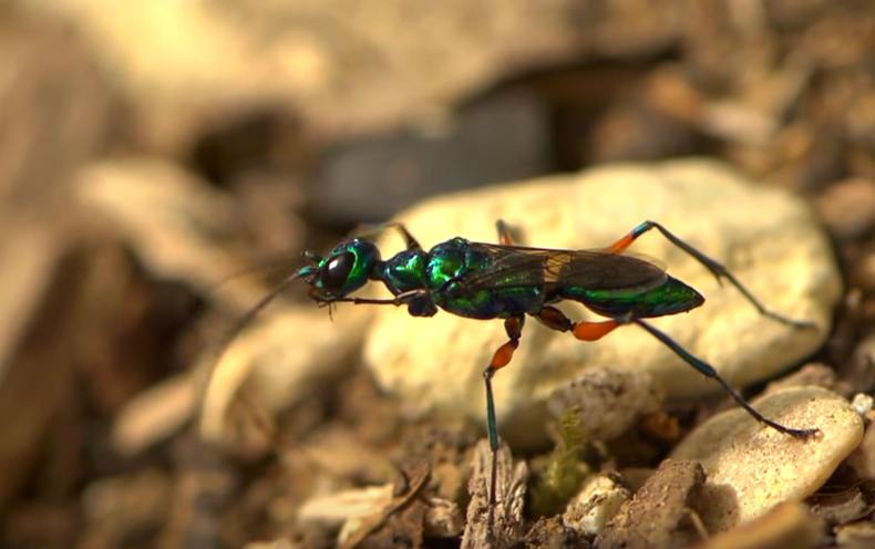 Watch a Wasp Take Control of a Cockroach's Brain [Video]