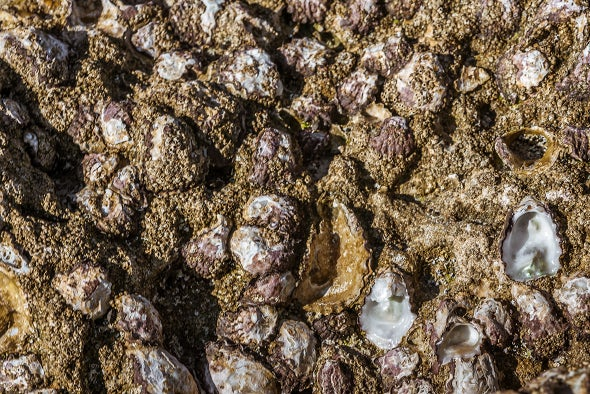 Even Earless Oysters Clam Up Over Noise Pollution