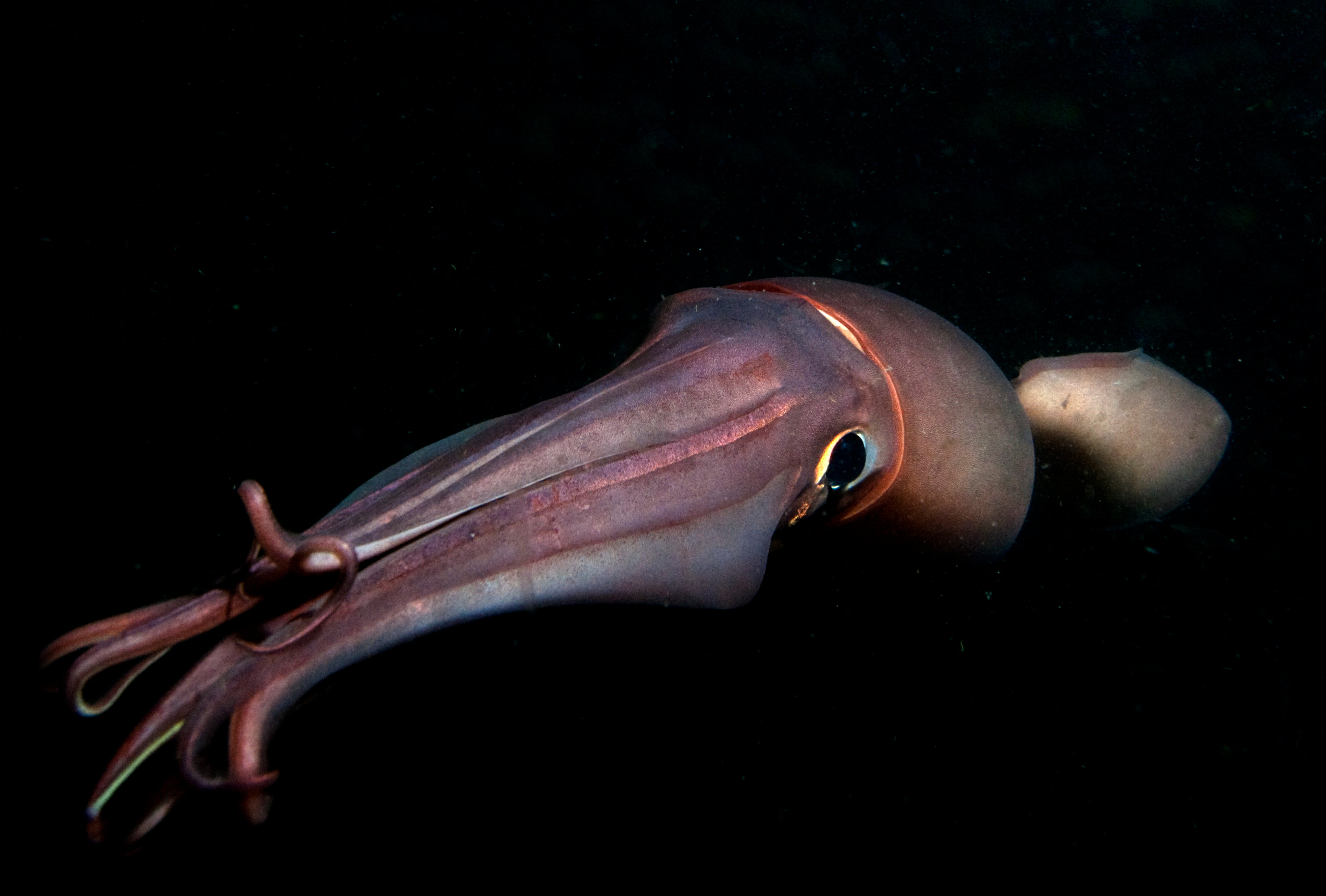 Squid Glowing Skin Patterns May Be Code