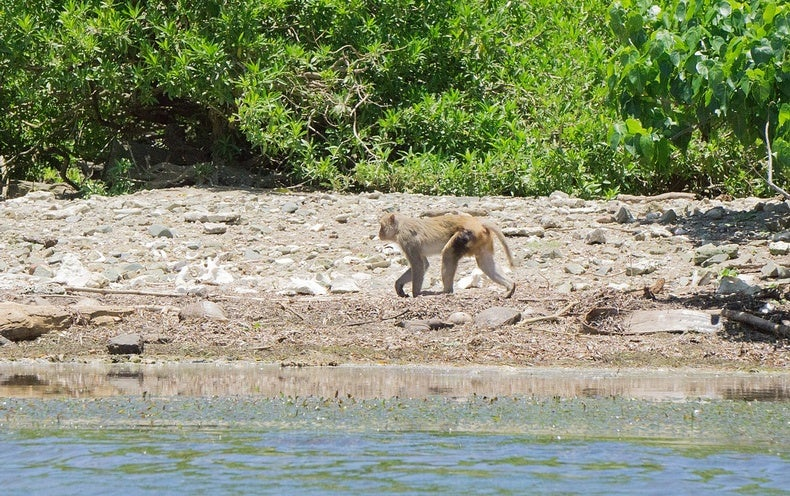 Researchers Rally to Save Monkeys on Hurricane-Ravaged Island