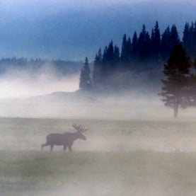 Moose in the mist.