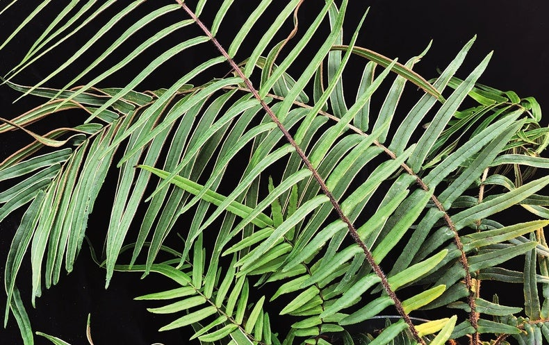 Arsenic-Eating Fern Hints at Cleanup Solutions