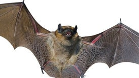 Bat Chatter Is More Than a Cry in the Dark