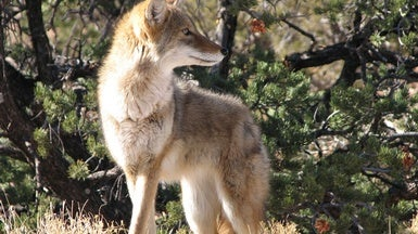 Why Killing Coyotes Doesn't Make Livestock Safer