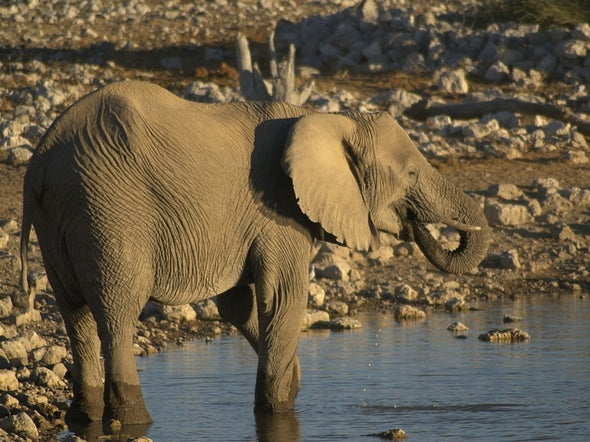 Mali's Desert Elephants Face Extinction in 3 Years