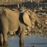 Mali's Desert Elephants Face Extinction in 3 Years