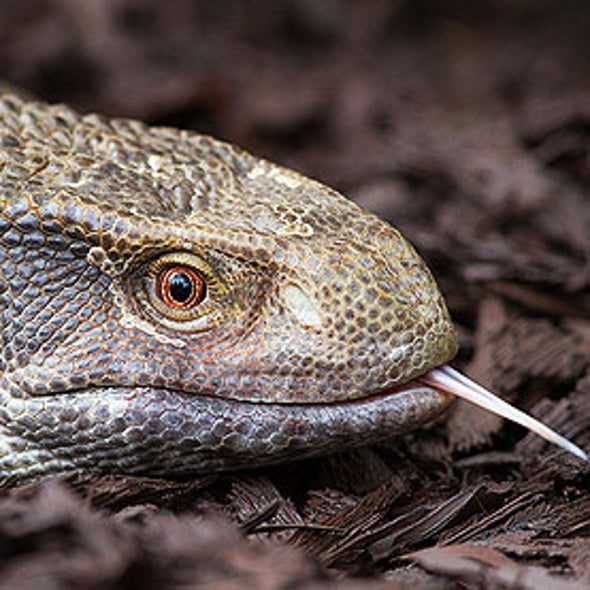 Monitor Lizards Found to Breathe Unidirectionally Like Birds