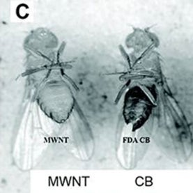 fruit flies with carbon nanoparticles