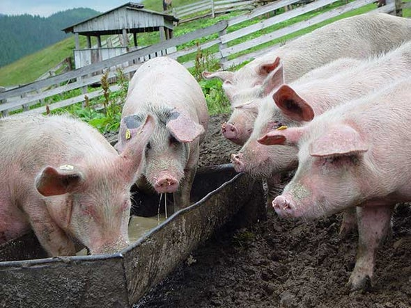 U.S. Hogs Fed Pig Remains, Manure to Fend Off Deadly Virus Return