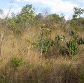 Brazil's Cerrado has a wide range of endemic flora but is now threatened by fire suppression and agriculture.