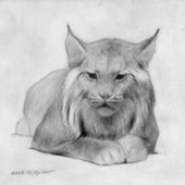 PENCIL DRAWING of a lynx—cats held a special appeal for Knight