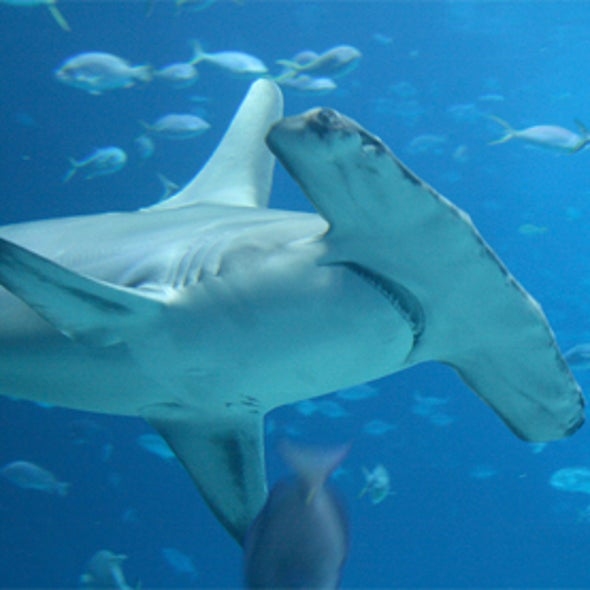 Online Chat at Noon EDT on Shark Biodiversity and Conservation