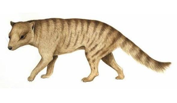 Mini 'Tasmanian Tiger' Took Down Large Prey