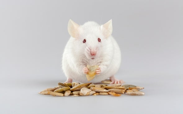 Drunk Mice Get the Munchies