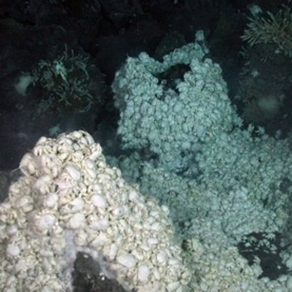 Yeti Crabs, Ghost Octopi Found at 1st Antarctic Deep-Sea Vents