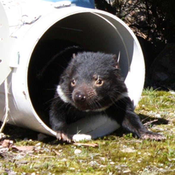Devils' Advocates: Catching a Slice of Tasmanian Devil Life [Slide Show]