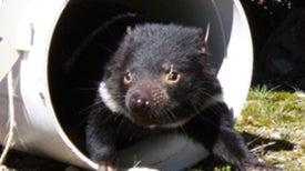 Devils' Advocates: Catching a Slice of Tasmanian Devil Life [Slide Show]