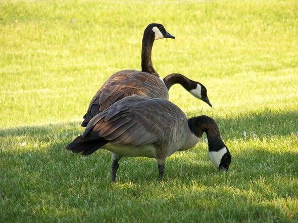 H5N8 Bird Flu Strain Spreads in Europe