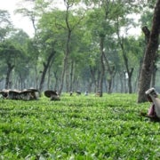 Global Warming Changes the Future for Tea Leaves