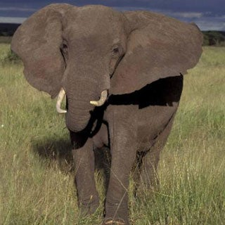 Fact or Fiction?: Elephants Never Forget