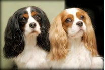 Although Purebred Dogs Can Be Best in Show, Are They Worst in Health?